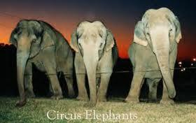 gajah yang terikat
